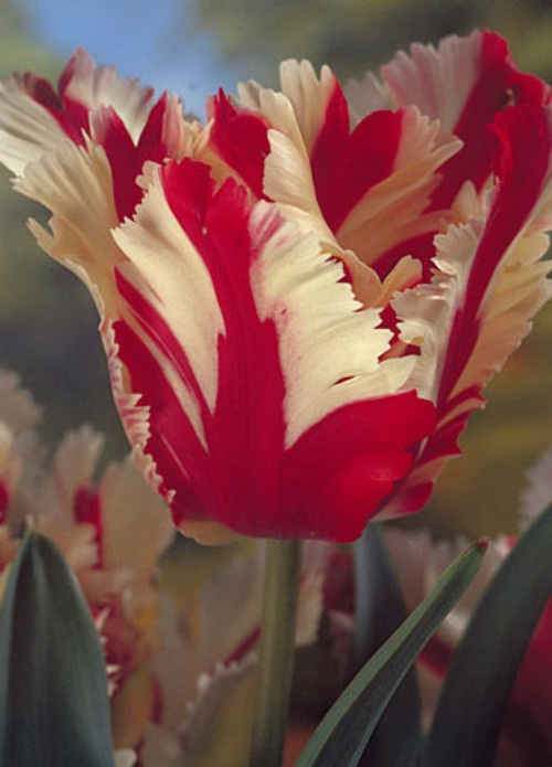 458 best Narzissen Tulpen und Hyacinthen images on