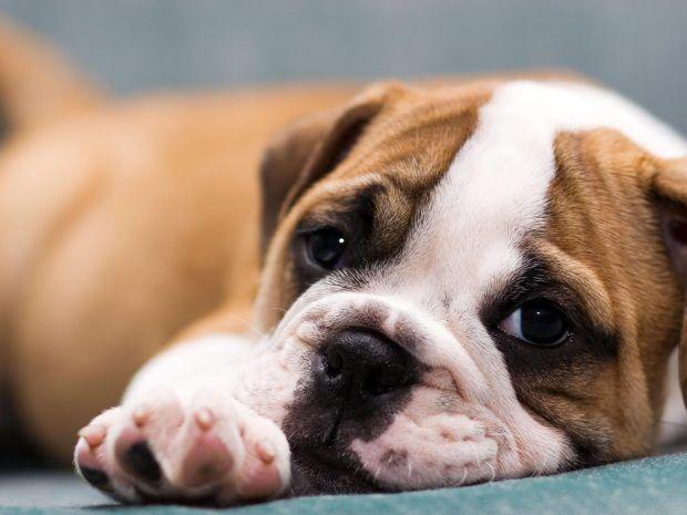 Hd Cute Puppy Backgrounds Cute Bulldog Puppies Bulldog