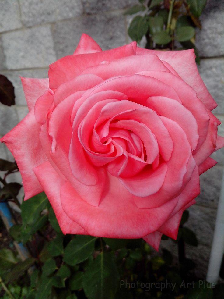 Roses pink Paipa flowers