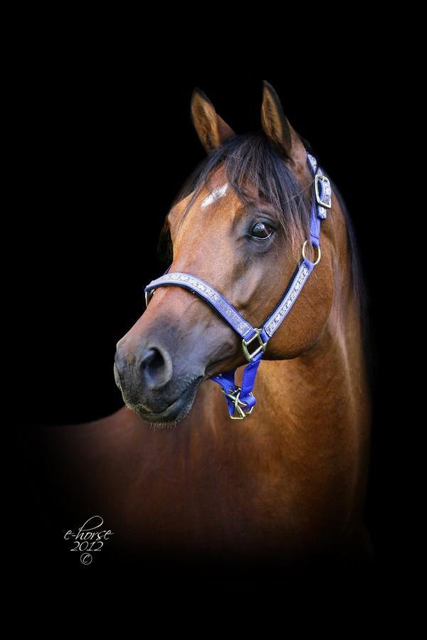 17 beste ideeu00ebn over Volbloed op Pinterest - Paarden, Zwarte paarden ...