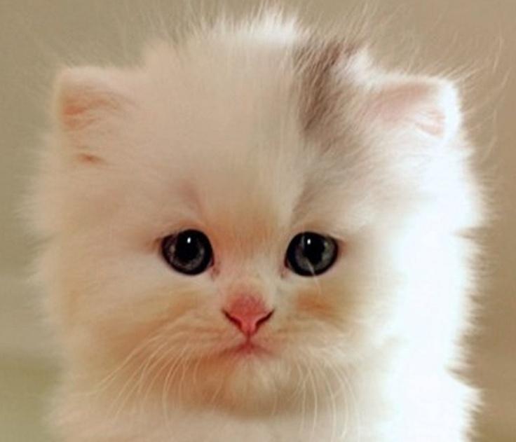 spesso Oltre 25 fantastiche idee su Gatti bianchi su Pinterest | Gattini  HE93
