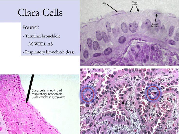 respiratory - clara cells in bronchioles