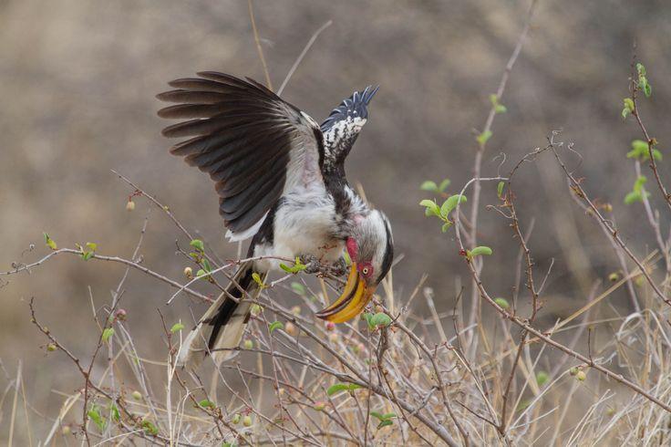Yellow billed hornbill displaying to partner at Singita, Kruger