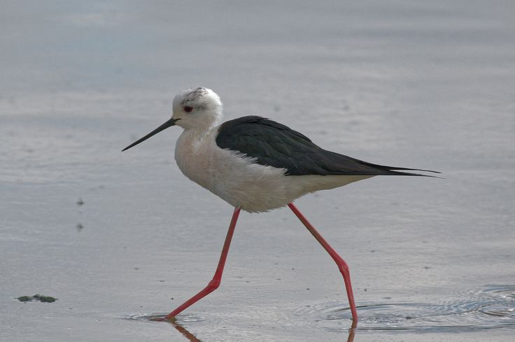 """michael.jh posted a photo:  Black-winged stilt """"Himantopus himantopus"""" seen at slimbridge this is a very rare sighting only the 2nd time they have been seen in Gloucestershire"""