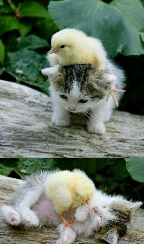 kitten & chick...aww cute!!