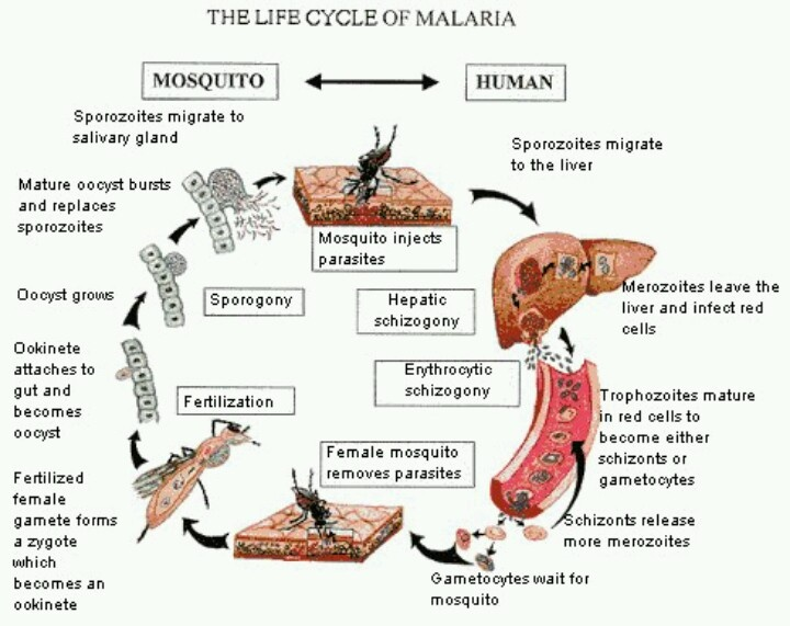 Life cycle of malaria. Shows the cycle from the carrier to the person infected. Shows progression of the deadly disease.