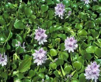 Jacinto de agua camalote camalotes lampazo violeta de for Jacinto planta interior