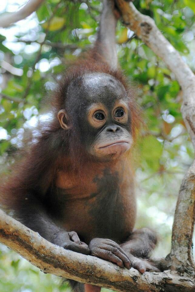 17 Best Images About Orangutan On Pinterest Orphan