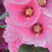 """Zoekresultaat """"5035"""" - zaden bestellen online bij Het Vlaams Zaadhuis - online bloemenzaden, groentenzaden, kruidenzaden, planten kopen"""