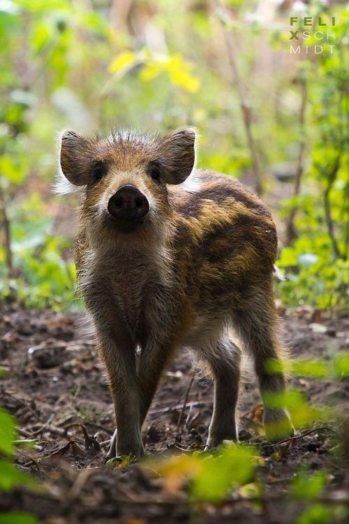 Wild Boar Piglet (by Fiduz) #WildBoar #Jabalí vía Tomás Mantecas