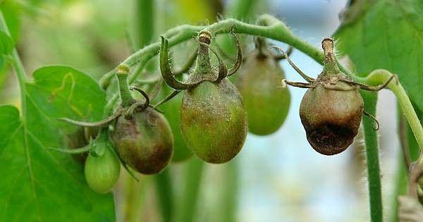 die 25 besten ideen zu tomaten z chten auf pinterest wachsende paprika. Black Bedroom Furniture Sets. Home Design Ideas