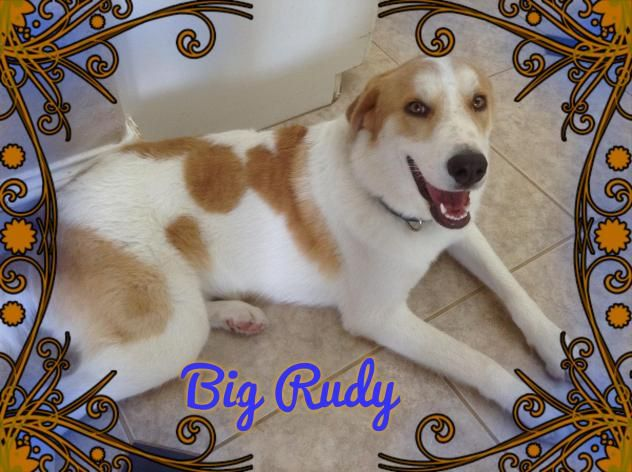 Big Rudy is a male Great Pyrenees/Collie mix who is available at Texas Collie Rescue,Houston,TX.