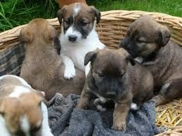 Resultado de imagen para imagenesde perros de rraza terri y pastor aleman mezcla