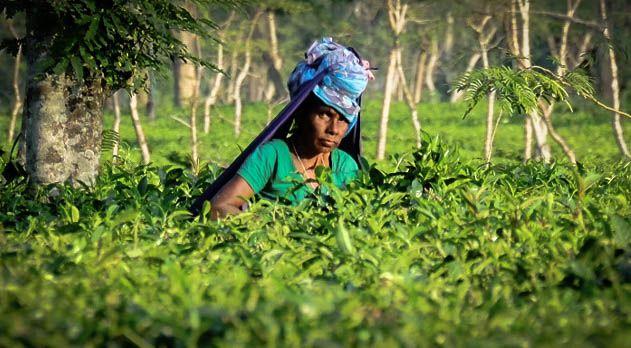 Bangladesh, piantagioni di tè e sfruttamento