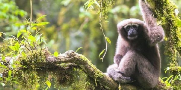 Star Wars dà il nome a una nuova specie di gibbone. Ma è già in pericolo estinzione (FOTO e VIDEO)