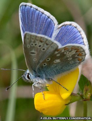 Common blue butterfly (Polyommatus icarus) (Image: Peter Eeles/Butterfly Conservation)