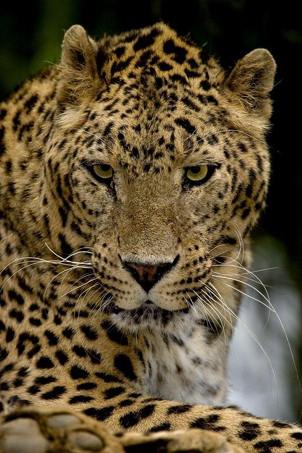 Leopardo: Photo by Photographer Miguel Angel de Arriba Cuadrado