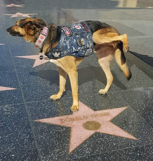 Dog lifting a leg on top of the Donald Trump star on the Hollywood Walk of Fame.