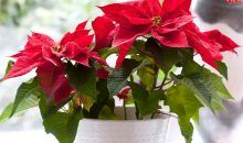Poinsettia: Christmas Tradition, History And How To Care About It!