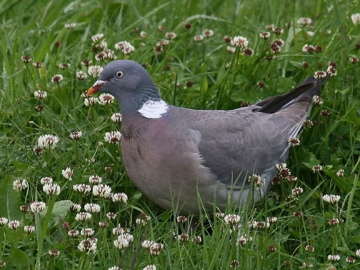 Pigeon ramier: plusieurs couples restent ici en hiver