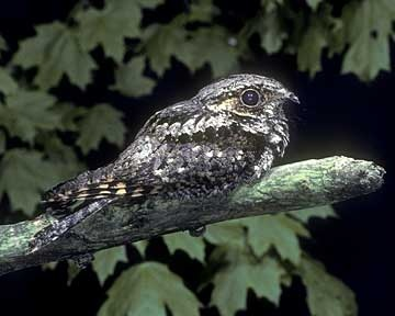 Eastern Whip-poor-will, named for their call. A nightjar bird from North & Central America