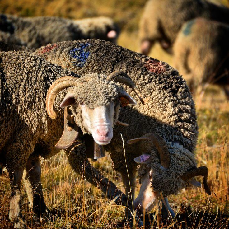 Au croisement des saisons, il y a très souvent un troupeau de mouton...