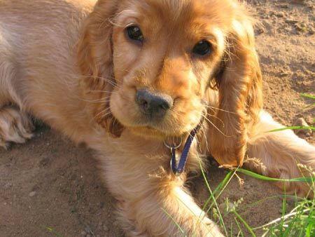 GoldenSpaniel- hello future dog