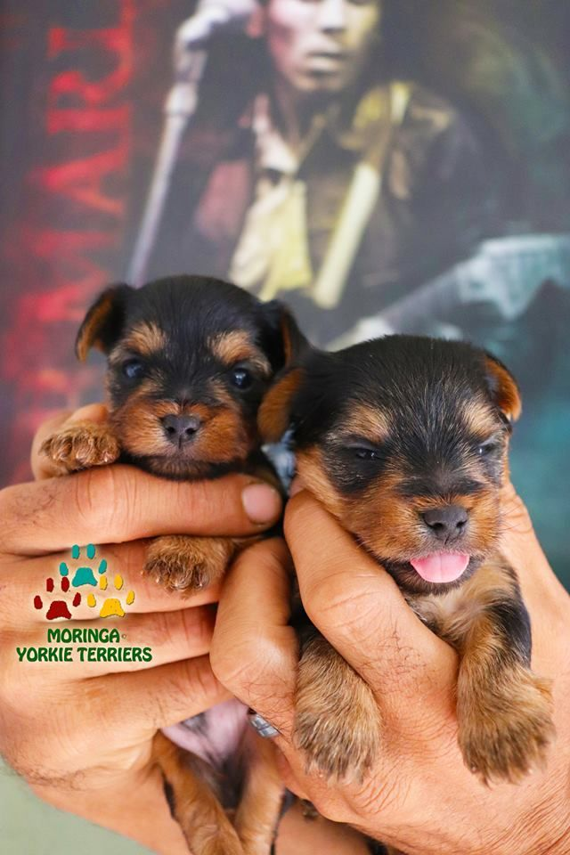Yorkie Puppies For Sale Quality Teacup Toy Puppies Yorkies For Sale Southern Califorina Baby Doll Face Yorkie Yorkie Puppy For Sale Yorkie Puppy Yorkie Terrier