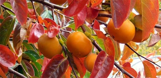 Ornamental Edibles Create a garden that is productive and beautiful at the same time. These ornamental edible trees create shade and also add interest on the tree and in the kitchen.