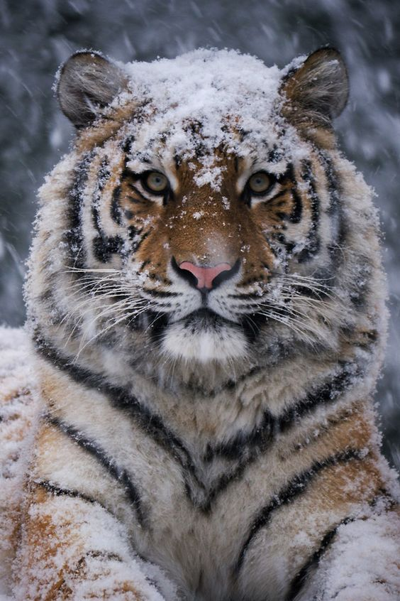 Tiger chilling in the Snow