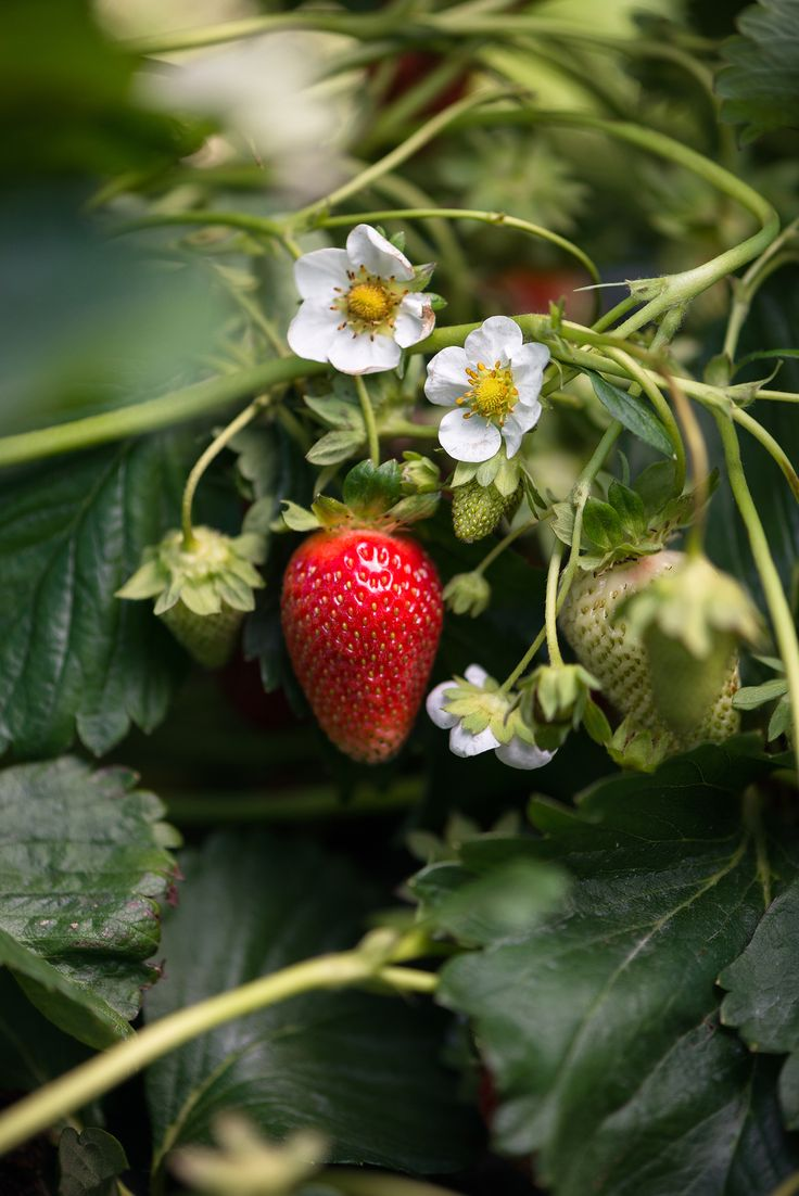 Strawberry Picking | Now, Forager | Teresa Floyd Photography