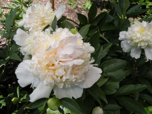 Top Br Herbaceous Peony Peonies