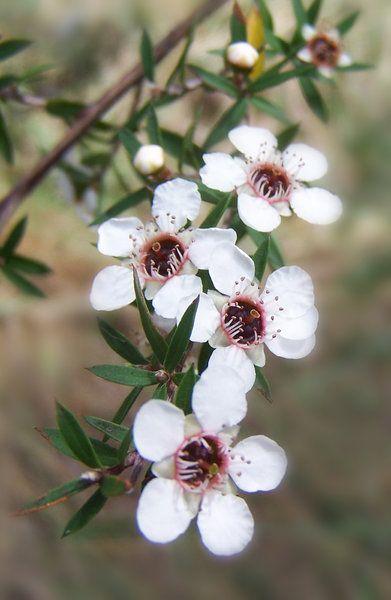 Manuka Tree Blossoms