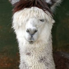 Alpacas are a popular form of tax shelter in the United States.