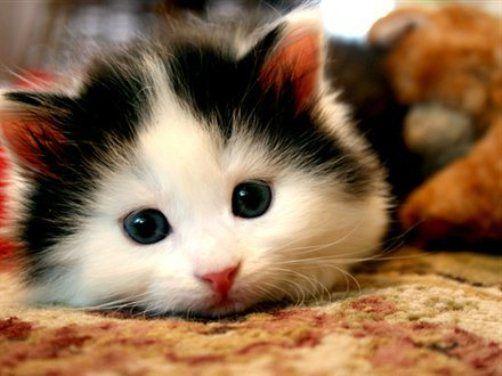 Gambar Kucing Lucu dan Aneh - di Karpet