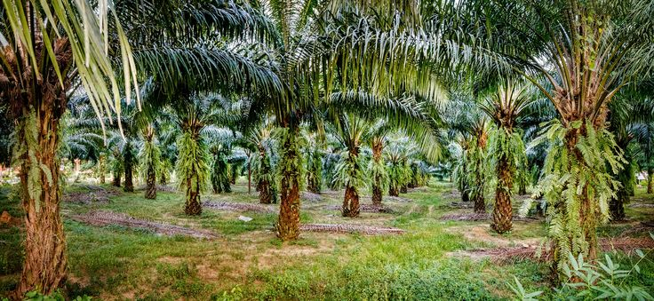 Seeking Sustainable Solutions - Years 5 & 6! Students investigate how the palm oil industry is moving towards more sustainable practices. #coolaustralia #education #teaching #teach #classroom #teacher #biodiversity #consumption #geography #palmoil #sustainability