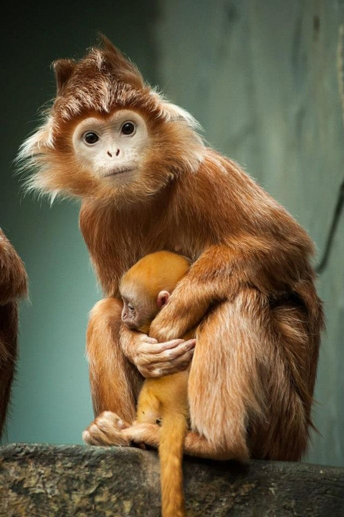 The Javan langur (Trachypithecus auratus) also known as ebony latung, mother with baby in Antwerpen Zoo, Belgium. This golden-brown colour is less common; the species is mostly glossy black with a brownish tinge to its legs and sides. The Javan langur lives on the island of Java and on several of the surrounding Indonesian islands.