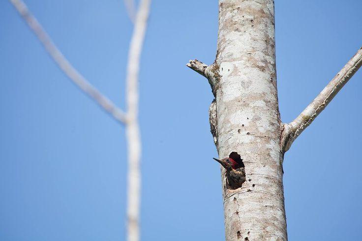 Center of America- Panama #panama #centerofamerica #bird #home #nature #sky #tree #seearound #homeisweretheheartis #alessandroceccarelliphoto #picoftheday #photoofday #fly #documentaryphotography #traveller #travellingphotoCenter of America- Panama #panama #centerofamerica #bird #home #nature #sky #tree #seearound #homeisweretheheartis #alessandroceccarelliphoto #picoftheday #photoofday #fly #documentaryphotography #traveller #travellingphoto
