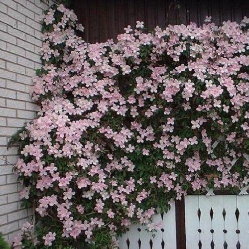 Clematis Montana Rubens - schaduw klimplant Deze moet sowieso blijven of weer opnieuw geplant worden.