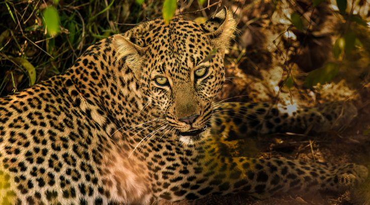 Leopard in the Bush by Vishwa Kiran on 500px