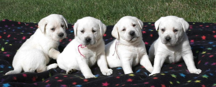 """(White English Lab Puppies)  """"Every boy should have two things: a dog, and a mother willing to let him have one"""" ~ Anonymous"""