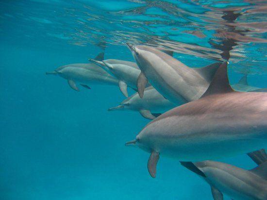 Delfini :) - Picture of Blue Reef Red Sea Resort, Marsa Alam ...