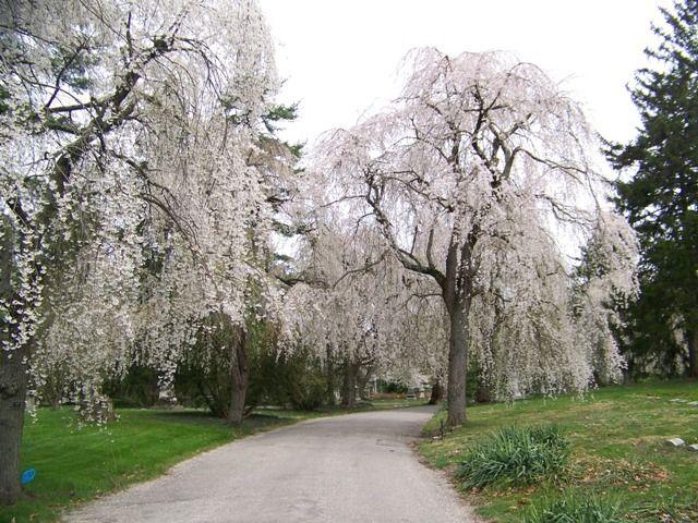 Prunus subhirtella var. pendula Weeping Cherry