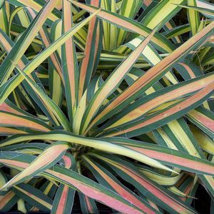 Yucca Color Guard put this in your hottest driest area -maybe at the entrance gate or end of the driveway? Pink coloration becomes more pronounced in cold weather- a great #wintergarden plant