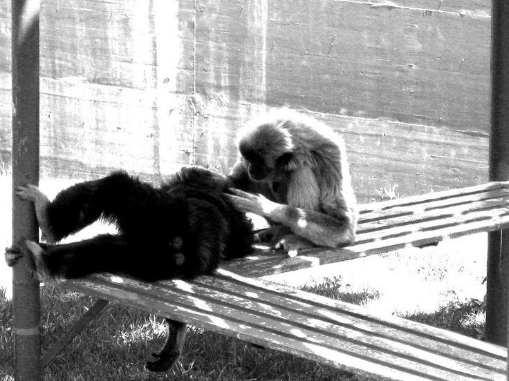 #Animals #Gibbons| Mutuo soccorso | #Animali #Gibbone || https://plus.google.com/106308291316083047839/posts/C9vBc1TyBoy