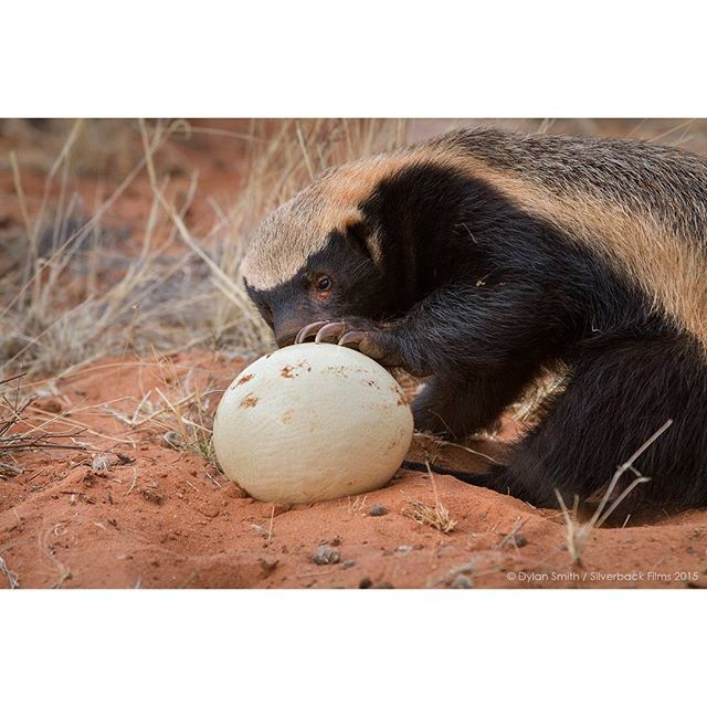 A honey badger attempts to break into an ostrich egg in the Kalahari desert. Honey badgers are opportunistic hunters & will eat, or try to eat, pretty much anything they come across. #EarthOnLocation by Dylan Smith / Silverback Films 2015 @BBCEarth presents: #TheHunt, a 7-part series narrated by Sir David Attenborough. South Africa: Jan 10. July. Available on DVD & Blu- Ray