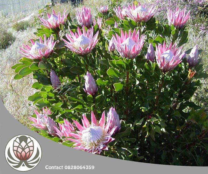 Protea plants need to be well established before they can be truly drought tolerant. Immediately after planting, plants should be watered thoroughly and thereafter watered to maintain soil moisture without causing the soil to be water logged. #tips #flowers #lifestyle