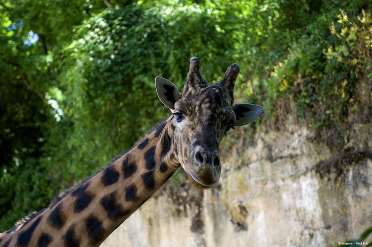 Sacha, notre vieux mâle girafe, fête ses 30 ans en 2017. Il s'agit du plus vieux mâle girafe d'Europe !