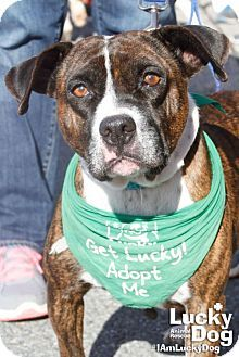 Washington, DC - Boxer/American Bulldog Mix. Meet Diamond, a dog for adoption. http://www.adoptapet.com/pet/17354401-washington-dc-boxer-mix