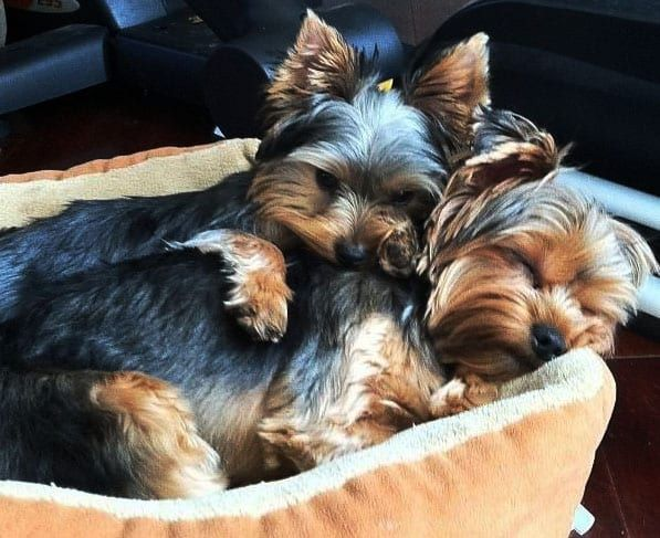 This Disease Affects 85 Of Yorkies Is Your Dog Silently Suffering Yorkie Puppy Toy Dog Breeds Yorkshire Terrier